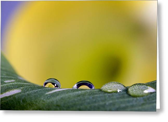 Close Up Lily Water Drop Greeting Card by Mark Duffy