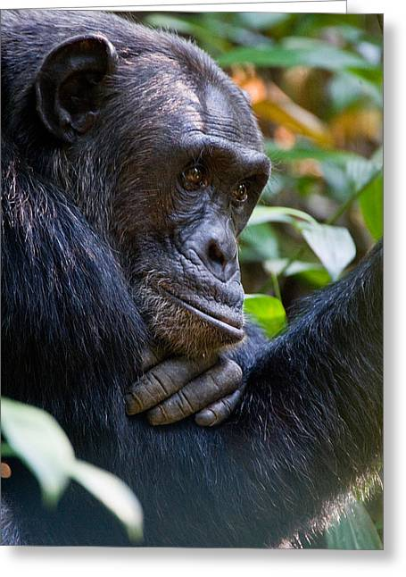 Animal Hair Greeting Cards - Close-up Of A Chimpanzee Pan Greeting Card by Panoramic Images