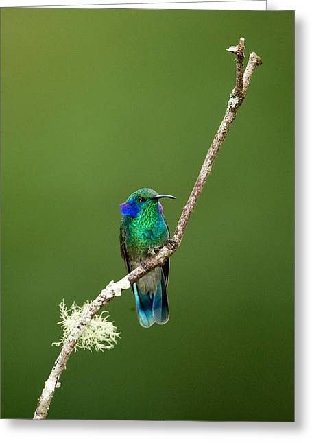 Zoology Greeting Cards - Close-up Of A Green Violetear Greeting Card by Panoramic Images