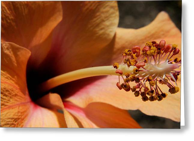 Stamen Greeting Cards - Close-up Of A Hibiscus Flower, Pinole Greeting Card by Panoramic Images
