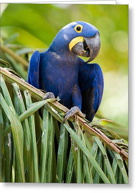 Hyacinth Macaw Greeting Cards - Close-up Of A Hyacinth Macaw Greeting Card by Panoramic Images