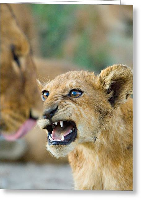 Urban Lion Greeting Cards - Close-up Of A Lion Cub, Ngorongoro Greeting Card by Panoramic Images