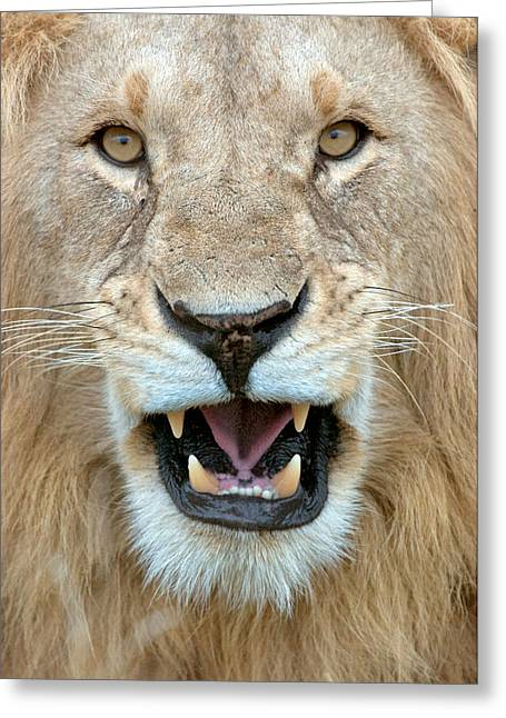 Fangs Greeting Cards - Close-up Of A Lion Panthera Leo Greeting Card by Panoramic Images