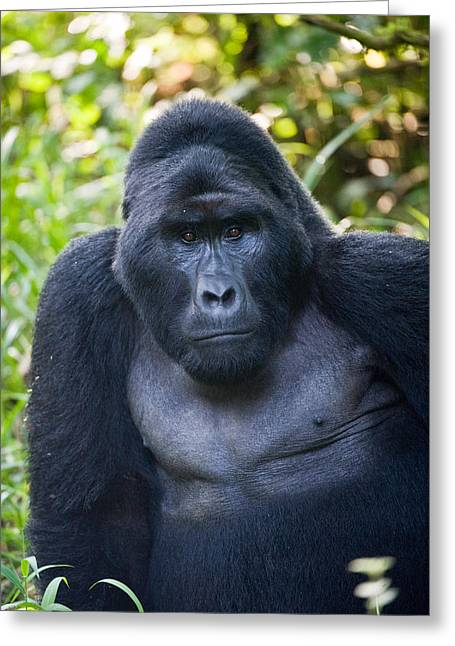 Uganda Greeting Cards - Close-up Of A Mountain Gorilla Gorilla Greeting Card by Panoramic Images