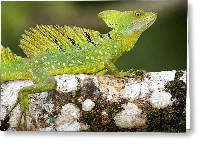 Negro Photographs Greeting Cards - Close-up Of A Plumed Basilisk Greeting Card by Panoramic Images