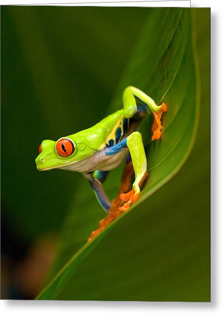 Red Eyed Leaf Frog Greeting Cards - Close-up Of A Red-eyed Tree Frog Greeting Card by Panoramic Images