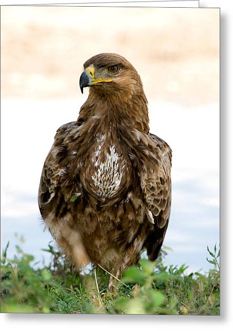 Zoology Greeting Cards - Close-up Of A Tawny Eagle Aquila Rapax Greeting Card by Panoramic Images