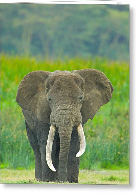 Craters Greeting Cards - Close-up Of An African Elephant Greeting Card by Panoramic Images