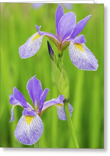 Close-up Of Blue Flag Iris Iris Greeting Card by Panoramic Images