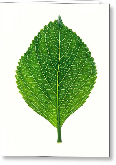 Green Leafs Greeting Cards - Close Up Of Green Leaf On Light Grey Greeting Card by Panoramic Images