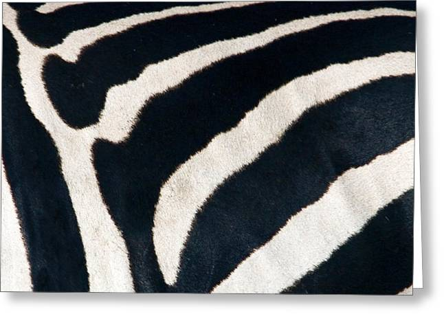Extreme Close-up Greeting Cards - Close-up Of Greveys Zebra Stripes Greeting Card by Panoramic Images