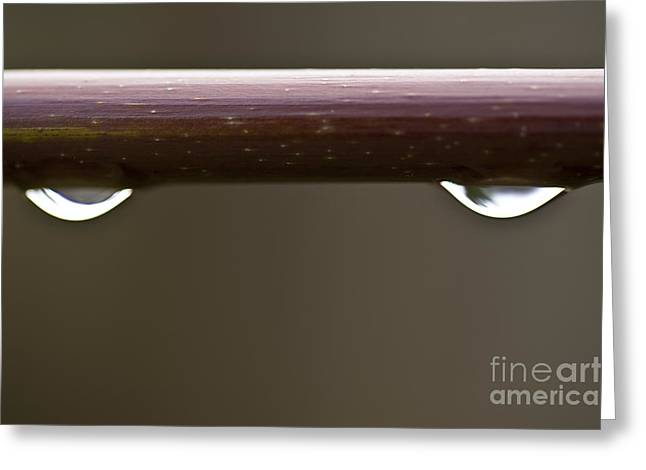 Beads Of Water Greeting Cards - Close-up of water droplets on maple limb Greeting Card by Jim Corwin