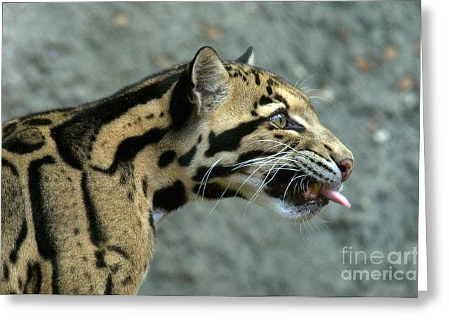Sticking Out Greeting Cards - Clouded Leopard Greeting Card by Mark Newman