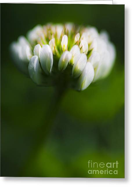 Subtle Colors Greeting Cards - Clover Flower Macro Greeting Card by Ryan Jorgensen