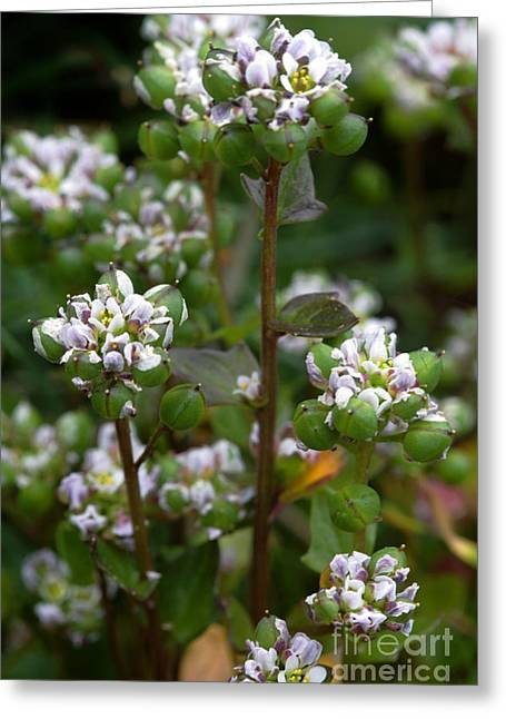 Scurvy Greeting Cards - Cochlearia Officinalis Greeting Card by Dr. Keith Wheeler