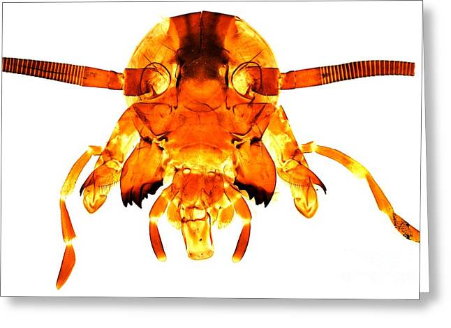 Maxilla Greeting Cards - Cockroachs Head, Light Micrograph Greeting Card by Dr. Keith Wheeler