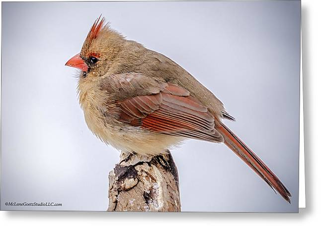Wild Orchards Greeting Cards - Cold Female Cardinal Greeting Card by LeeAnn McLaneGoetz McLaneGoetzStudioLLCcom