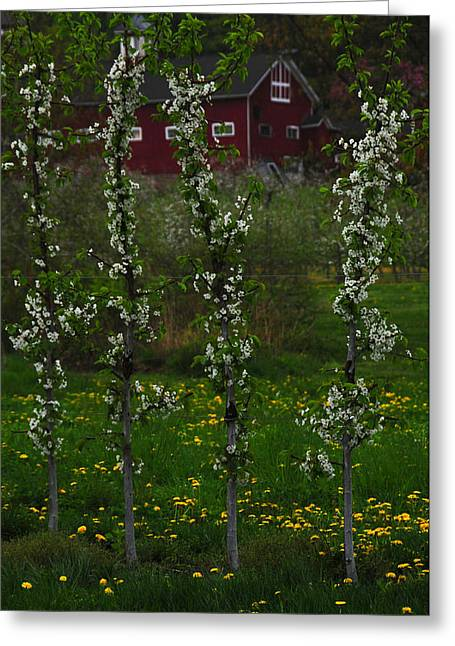 Belchertown Greeting Cards - Blossoms at Cold Spring Orchard Greeting Card by Mike Martin