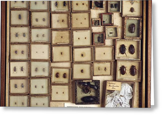 Dandridge Greeting Cards - Collection of beetles Greeting Card by Science Photo Library