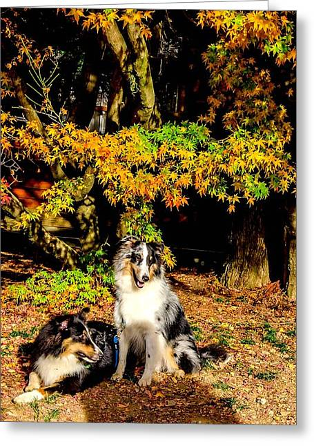 Dogie Greeting Cards - Collie dogs in autumn sun Greeting Card by Jyeh Wang