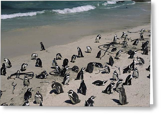 Flock Of Bird Greeting Cards - Colony Of Jackass Penguins Spheniscus Greeting Card by Panoramic Images
