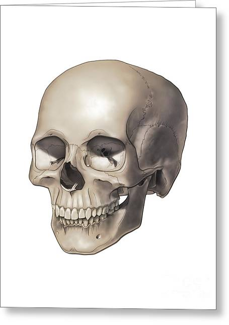 Ethmoid Bone Greeting Cards - Color Illustration Of A Human Skull Greeting Card by Nicholas Mayeux