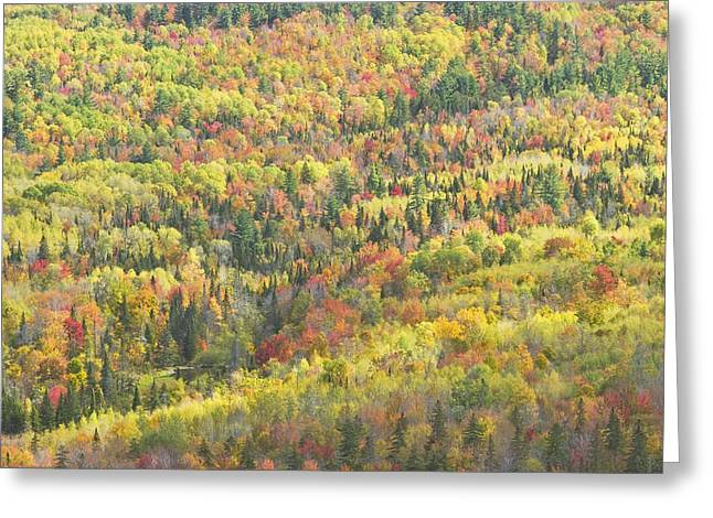 Maine Fall Greeting Cards - Colorful Autumn Forest In Mount Blue State Park Weld Maine Greeting Card by Keith Webber Jr