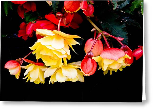 Begonias Greeting Cards - Colorful flowers Greeting Card by Tom Gowanlock