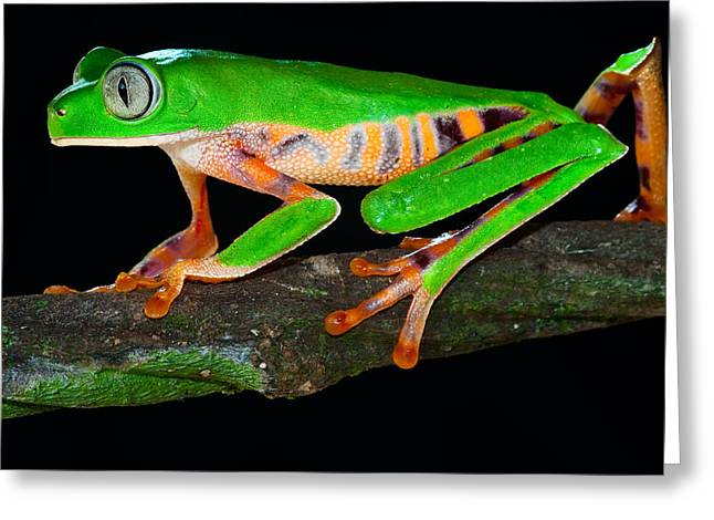 Tree Frog Greeting Cards - Colorful Tree Monkey Frog Greeting Card by Dirk Ercken