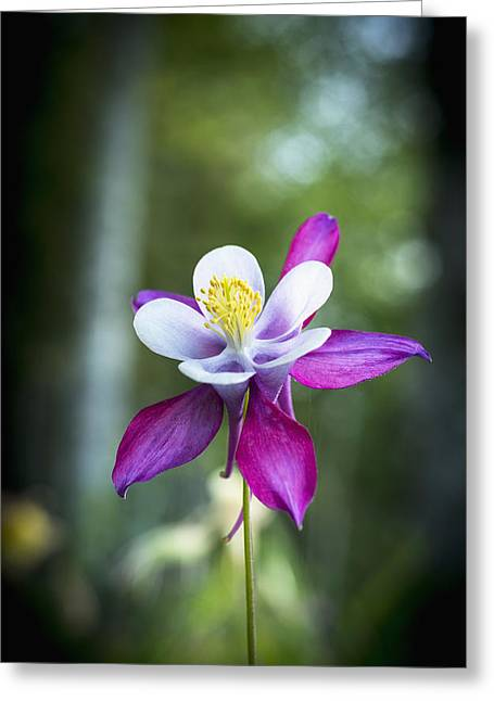 Differential Focus Greeting Cards - Columbine Blooms In A Garden_ Astoria Greeting Card by Robert L. Potts
