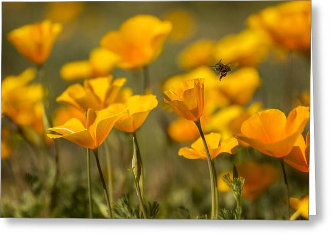 Golden Poppies Greeting Cards - Coming In For A Landing  Greeting Card by Saija  Lehtonen