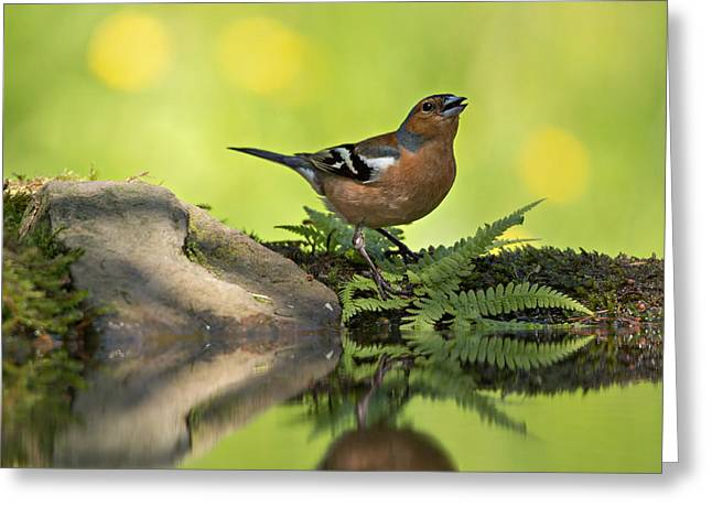 Back Yard Birds Greeting Cards - Common Chaffinch Fringilla coelebs male Greeting Card by Louise Heusinkveld