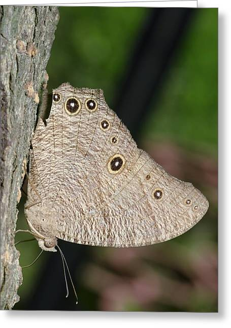 Leda Greeting Cards - Common evening brown butterfly Greeting Card by Science Photo Library