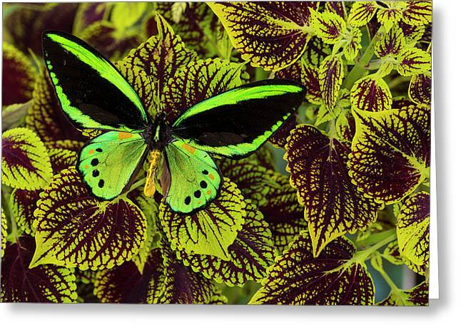 Common Green Birdwing Or The Priams Greeting Card by Darrell Gulin