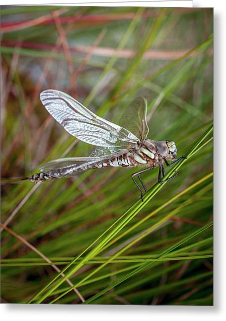 Common Hawker Dragonfly Greeting Card by Paul Williams