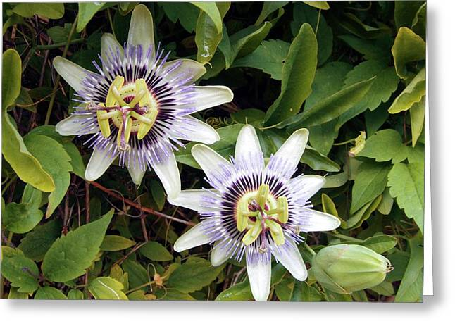 Common Passion Flower Greeting Card by D C Robinson