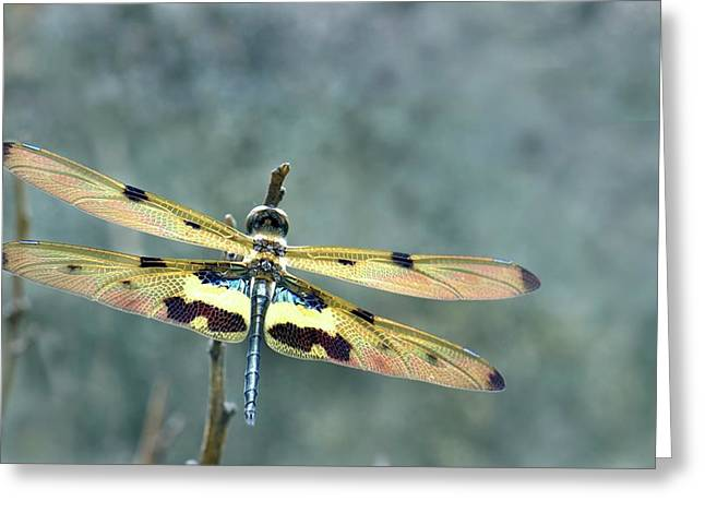 Common Picture Wing Dragonfly Greeting Card by K Jayaram
