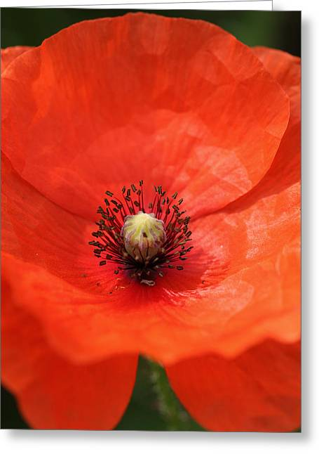Paul Lilley Greeting Cards - Common Poppy Greeting Card by Paul Lilley