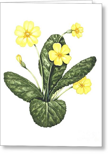 Western Asia Greeting Cards - Common Primrose, Artwork Greeting Card by Lizzie Harper