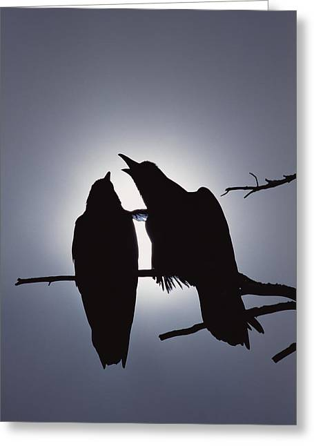 Two Crows Greeting Cards - Common Raven Pair Perching Greeting Card by Michael Quinton