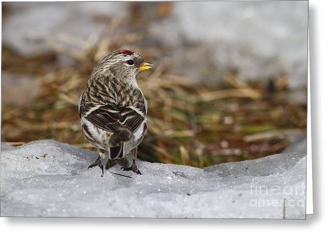 Animalia Greeting Cards - Common Redpoll Greeting Card by Linda Freshwaters Arndt