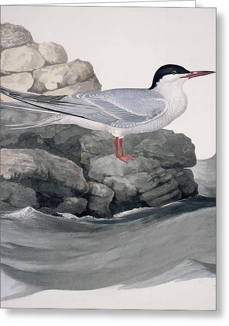 Tern Greeting Cards - Common tern, 19th century artwork Greeting Card by Science Photo Library