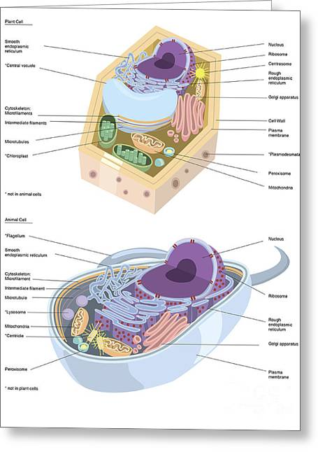 Eukaryotic Cells Greeting Cards - Comparative Illustration Of Plant Greeting Card by Alan Gesek