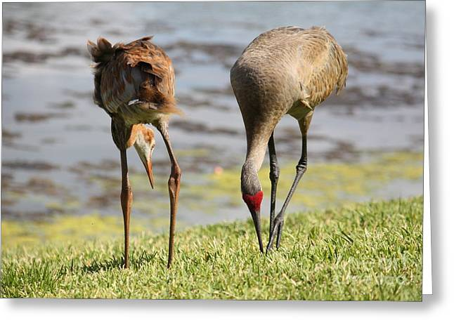 Sandhill Cranes Greeting Cards - Concentration Greeting Card by Carol Groenen