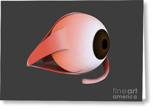 Conceptual Image Of Human Eye Anatomy Greeting Card by Stocktrek Images