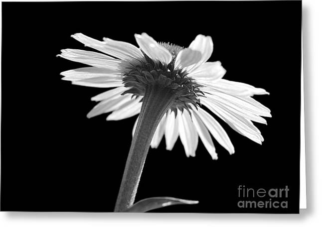 Coneflower Greeting Card by Tony Cordoza