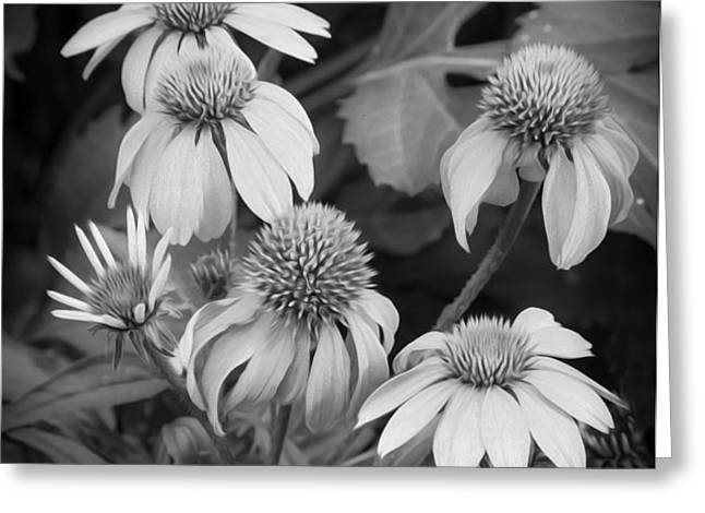 ConeFlowers Echinacea Rudbeckia BW Greeting Card by Rich Franco