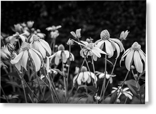 Abstracted Coneflowers Greeting Cards - Coneflowers Echinacea Yellow BW Greeting Card by Rich Franco