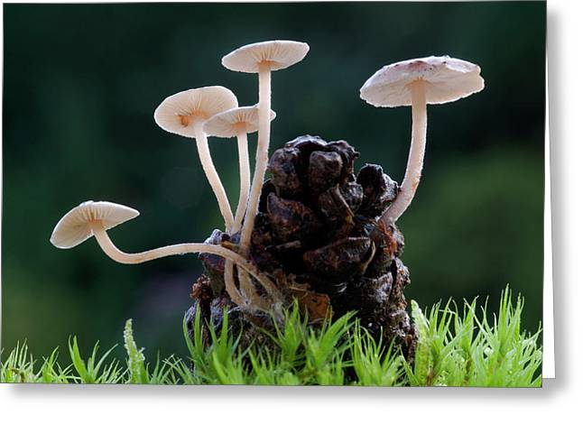 Conifer Cone Cap Fungus Greeting Card by Nigel Downer