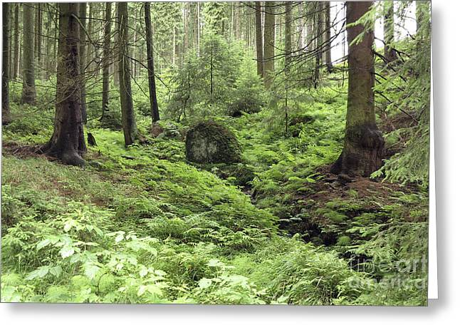 Tremendous Greeting Cards - Coniferous Forest Greeting Card by Michal Boubin